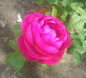 Roses.002