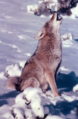 Wisdom is what drives Coyote